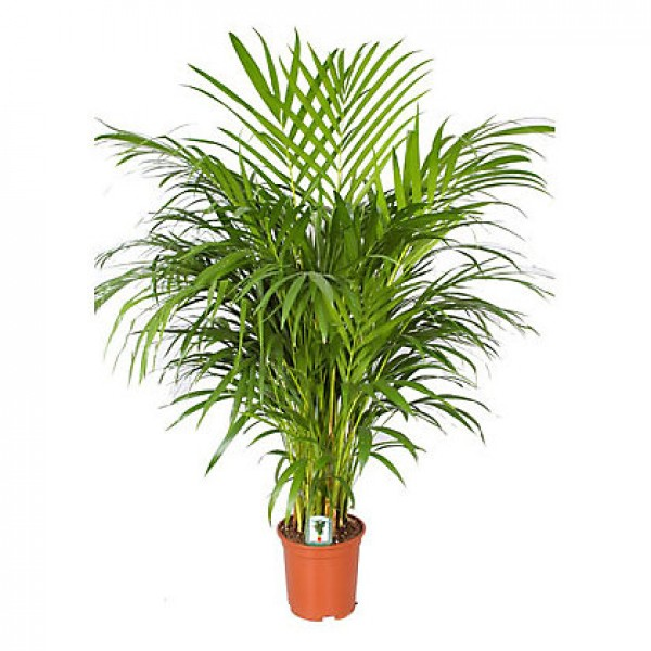 send areca palm indoor plant flower gifts to dubai with flowers
