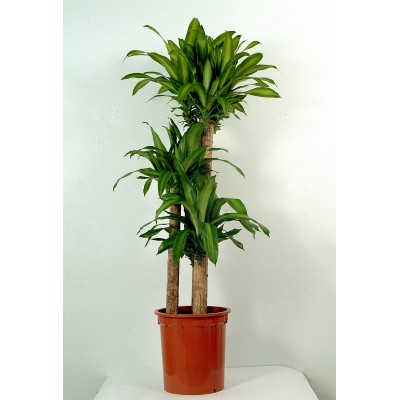 Massangeana Indoor plant