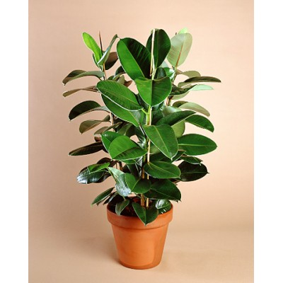 Rubber tree Indoor Plants