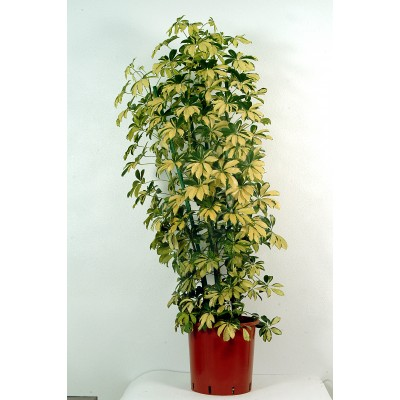 Schefflera Gold Indoor Plant
